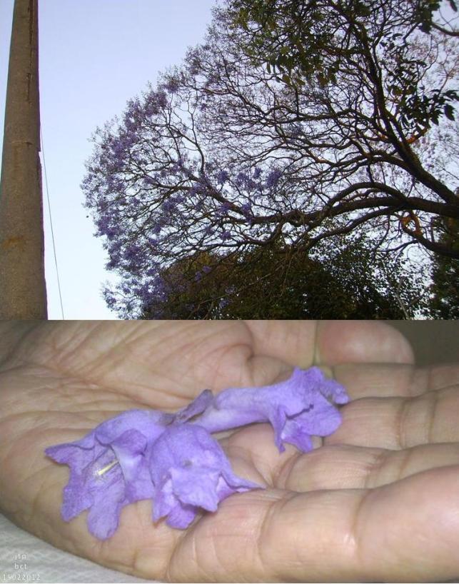 Jacaranda, en flor 15022012 upnp (Fotos, por jtp-.bct)