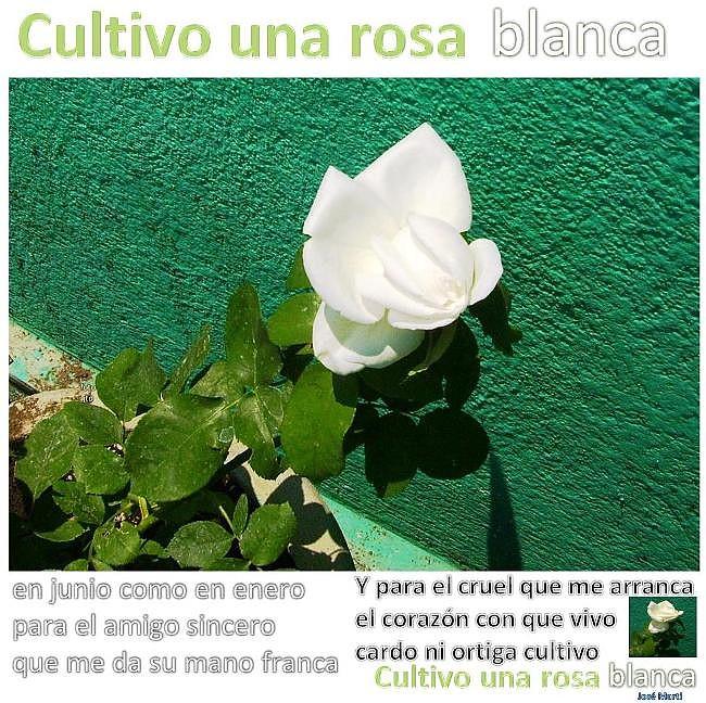 Rosa blanca -cultivo -u - José Martí 1404201-.